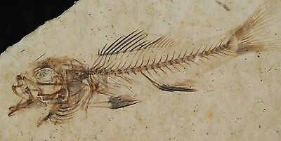 ULTRA RARE!! A TINY BABY or Fry Priscacara Fossil Fish Found in Wyoming! 57.8gr
