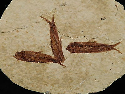 A School of THREE Small Restored 50 Million Year Old Fossil Fish! Wyoming 195gr