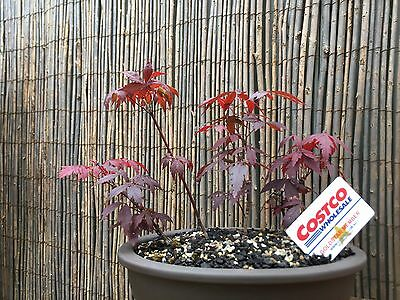 Bonsai Japanese Maple