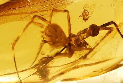Very Large Spider ( rare dimensions ) in Burmite Amber - fossil bug