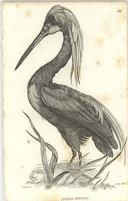 1819 Zoology Shaw Birds Agami Heron Engraving