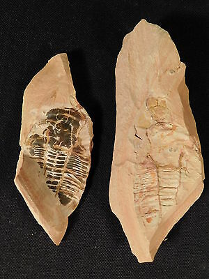 Big Chocolate Colored Asaphiscus Trilobite Fossil Both Sides of Matrix Utah 190g