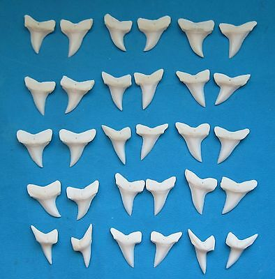"30 pcs.- 1 1/8"" Wide type White  MAKO SHARK Teeth for shark necklace Mis-12"