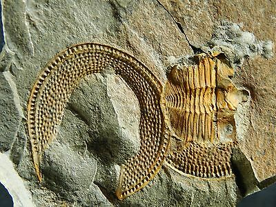 TWO BIG! Very RARE 100% Natural Declivolithus Trilobite Fossils Morocco 705gr *B