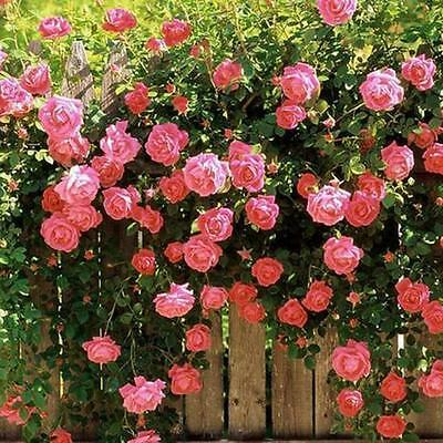 100 Rose Red Climbing Rose Seeds Perennial Flower Home Garden Plant Multi Color