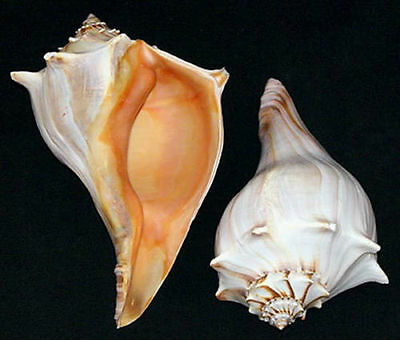"Atlantic Whelk Shell-Busycon carica ~Seashell Craft Select 6""-7"" Or 7""-8"""