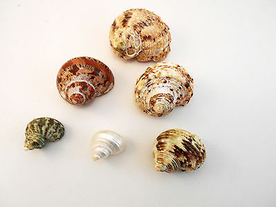 """6 Assorted Turbo Hermit Crab Shells Lot 3/4""""-2"""" size (opening 5/8""""-1"""") Seashell"""