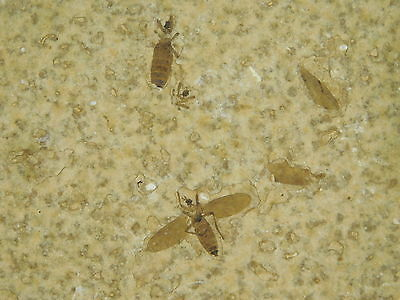 A Nice! and 100% NATURAL 50 Million Year Old Insect Fossil Bee Wyoming! 70.1gr