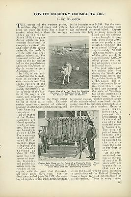 1923 Magazine Article Hunting Trapping Coyote Fur Pelts Western Plains Shooting