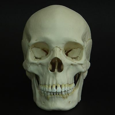 Human Male Adult Skull Replica ( Real Size )
