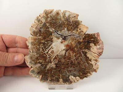 S.V.F - Fossil Wood Slice Madagascar - 13.2 cm's Plant Fossil