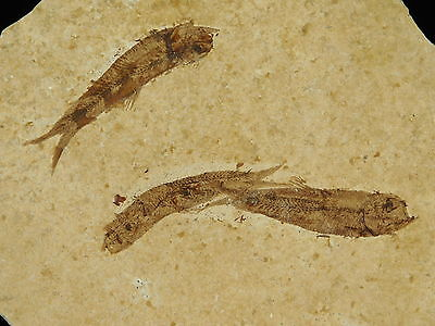 A School of THREE Small Restored 50 Million Year Old Fossil Fish! Wyoming 207gr