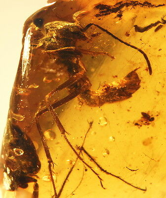 Rare sturdy carapace Ant in authentic Burmite cretaceous Amber - fossil insect