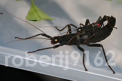 x8 NYMPHS +GUIDE Black Beauty Stick Insects Peruphasma Schultei LIVE SPECIMENS