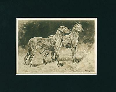 Antique Dog Print + Article 1906 Great Dane Dogs by Arthur Wardle