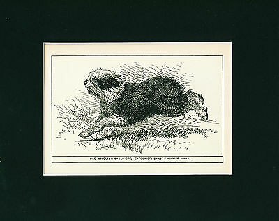 Dog Art Print 1900 Old English Sheepdog ANTIQUE