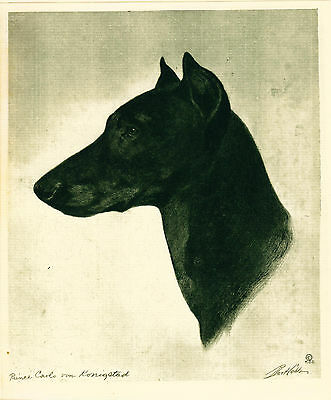 Dog Print 1931 Doberman Pinscher by Bert Cobb
