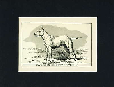 ANTIQUE Dog Art Print England 1900 Bull Terrier Dog Ch. Sherbourne Queen