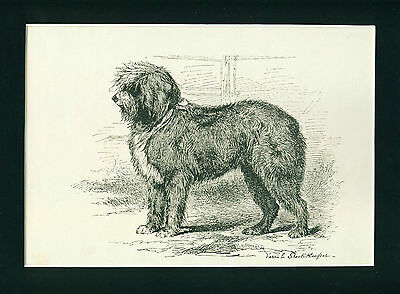 SCARCE ANTIQUE Engraving Print 1904 Old English Sheepdog Dog