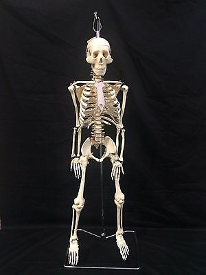 Human Skeleton Model Anatomical Anatomy Medical Stand New Quality Teaching 004