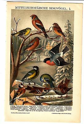 ca 1890 BIRDS SPARROW TITMOUS BULLFINCH HAWFINCH Antique Chromolithograph Print