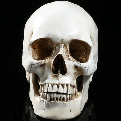 Human Skull Resin Model Life Size 1:1 Anatomical Medical Teaching Skeleton 2017