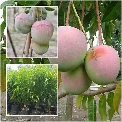 """Mango Tree Plant Grafted """"R2E2"""" Fruit Tropical From Thailand Tall 15''"""