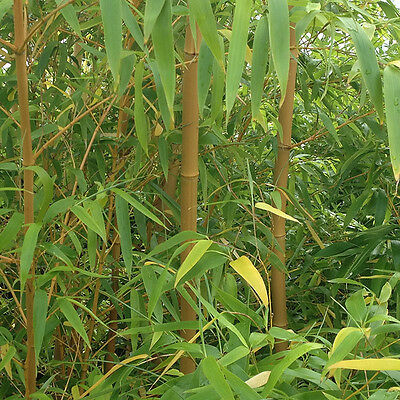 Yellow Bamboo (Phyllostachys) Plants 90-100cm tall - Pair