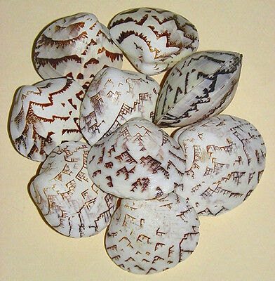 """Lioconcha castrensis Clam Paired Shells, Cockle 1""""-1-1/2""""~(5/10/20/ Pcs."""