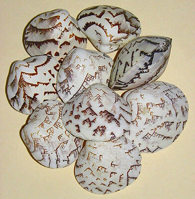 "Lioconcha castrensis Clam Pr.Shells,Cockle,Scallop, 1""-1-1/2""~(5/10/20/ Pcs."