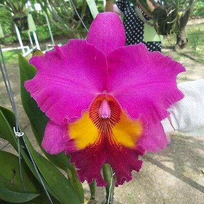 Cattleya Orchid Hybrid King Of Taiwan Blooming Size From Thailand
