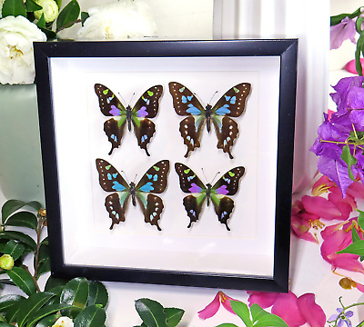 Collectable taxidermy real butterfly collection Graphium stressemanni  BJGWS