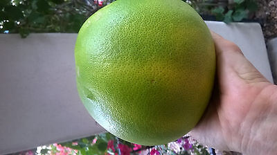 Pomelo Chandler freshly cut 5+ cuttings