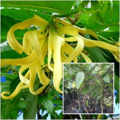 Cananga odorata Tree Plant  Ylang-ylang Fragrant Flower From Thailand Tall 20''