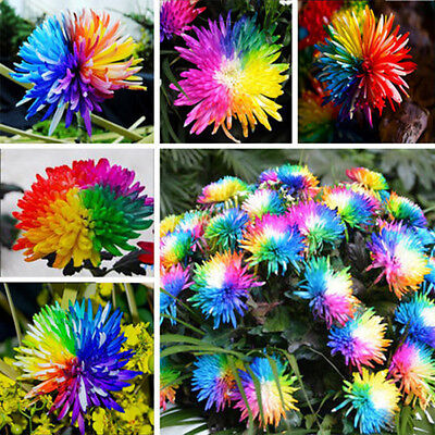 100Pcs Rainbow Chrysanthemum Flower Seeds Rare Special Colorful Garden Decor