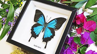 Australian Framed real mounted butterfly in case for sale Papilio ulysses BBUL