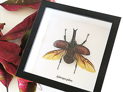 Australian Bug rhino beetle Taxidermy Framed real Australian beetle display BAXG