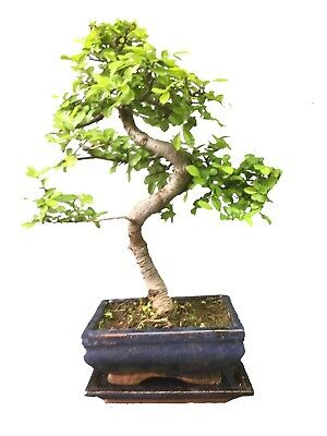 Bonsai Tree, Chinese Elm, 20-30cmTall With Matching CERAMIC TRAY