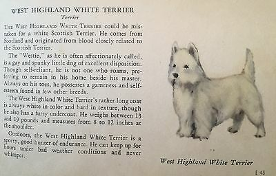 WEST HIGHLAND TERRIER WESTIE  Dog Rare Vintage Art & Breed Description From 1939