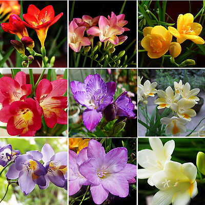 100X Charm Freesia Bulbs-Old Fashion Perfume Flower Seeds Garden Plant Perennial
