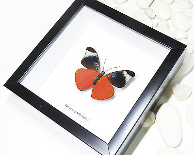 butterfly collection for sale entomology real insect Panacea prola BAPPRV