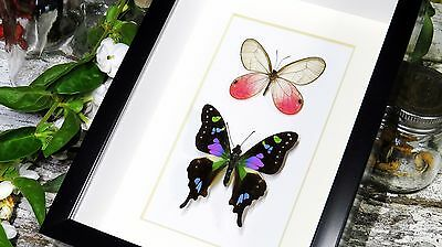 Real mounted Butterfly collection for sale in frame shadowbox BDGC2