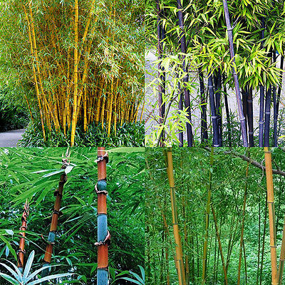 100Pcs Black Tinwa Phyllostachys Pubescens Moso-Bamboo Seeds Garden Plants