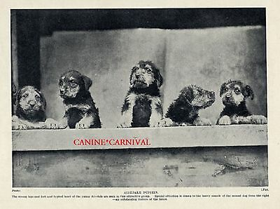 Adorable Airedale Puppies Looking Out The Window Photo 1934 Vintage Print