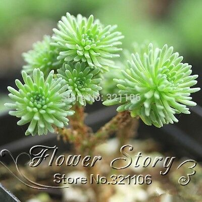 100 pcs / bag Sedum multiceps seedsucculent plants seeds flower seed