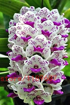 200pcs cymbidium orchid,orchid cymbidium,cymbidium seeds,bonsai flower seeds
