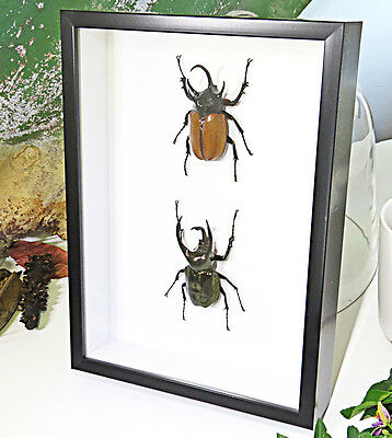 Rhino Beetles real frame collection insects bugs taxidermy entomology BNAG2