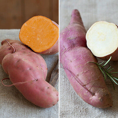 Sweet Potato Plant collection x 6 plants - grow your own