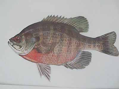 30 FISH PRINTS by Duane Raver for USFWS 1980.Lot, North American Fish Prints