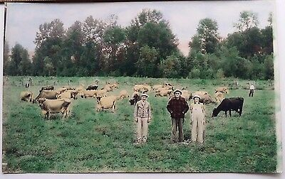Americana Odd Dairy Farmers Herd Free ranging Cows Tinted Colored Photo 1920s
